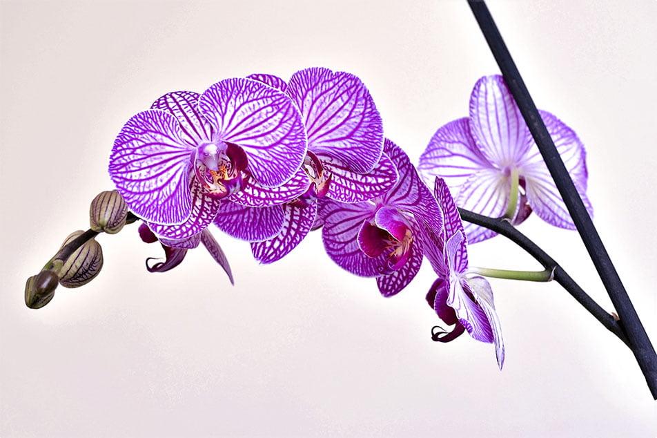 Cómo cuidar la Orquidea Phalaenopsis