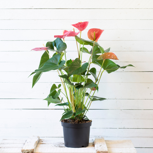 Anthurium flores color coral
