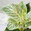 philodendron white